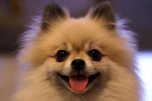 灵巧呆萌的4种小型犬可萌化你的心有你喜爱的吗